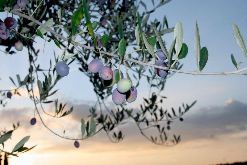 Olio di oliva 2019, italiano è meglio